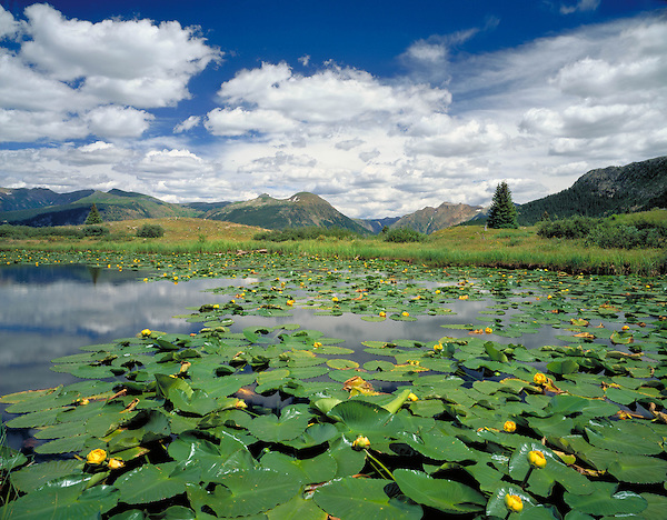 Water lilies in pond at Molas Pass in the San Juan Mountains, Silverton, Colorado, USA. .  John leads wildflower photo tours into American Basin and throughout Colorado. All-year long. .  John leads private photo tours in Telluride and the San Juan Mountains. Year-round Colorado photo tours.