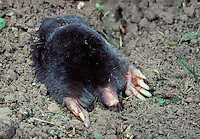 Mole Talpa europaea Length 14-18cm Burrowing, tunnel-dwelling mammal. Cylindrical body is covered in black fur. Feeds mainly on earthworms. Presence detected above ground by 'molehills' (spoil heaps of excavated soil). Adult has velvety fur and spade-like front feet, armed with sharp claws, and used for digging. Eyes are tiny and external ears are absent. Head is elongated into a sensitive snout. Mostly silent. Common in meadows and woods with well-drained, invertebrate-rich soil. Beneficial as a soil aerator.