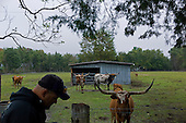 Jacksonville, Florida<br /> November 6, 2013<br /> <br /> Veteran's sustainable farm founded by Purple Heart veteran Adam Burke and managed by Afghan and Iraqi veteran Steve Ellseberry.<br /> <br /> Army vet Steve Ellsberry tends to longhorn cattle that were given to the Veterans Farm by the family of a vietnam veteran who recently passed away.