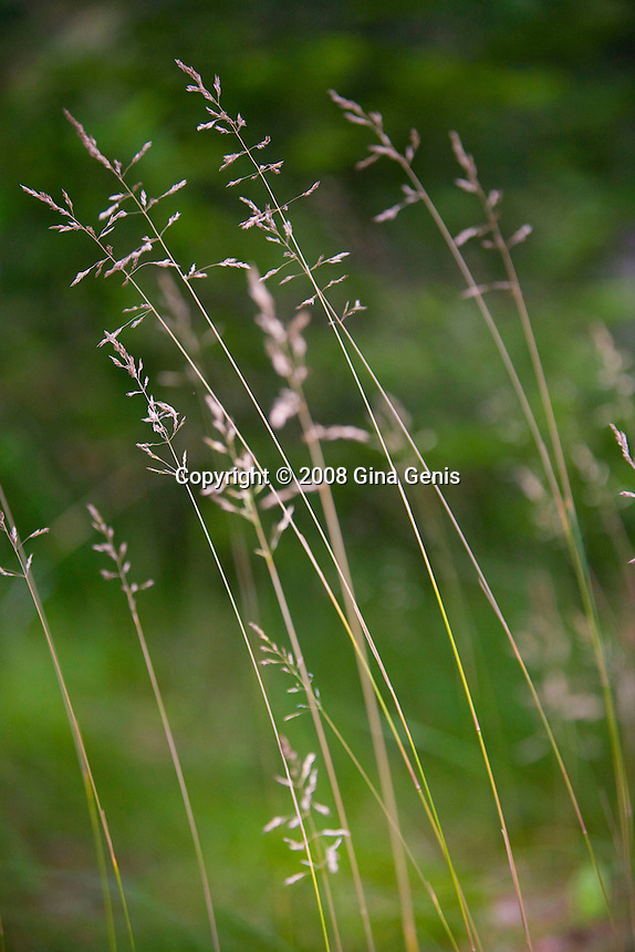 Wild grasses in the wind on Madeline Island