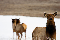 Watchful Elk (Cervus elaphus) [WILD] in Winter Snow at Old Faithful Geyser Basin,Yellowstone National Park, Wyoming, United States of America