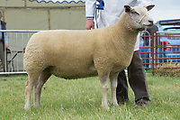 Rutland County Show 2017<br /> Res overall Charollais owned by C R Sercombe<br /> Picture Tim Scrivener 07850 303986<br /> &hellip;.covering agriculture in the UK&hellip;.