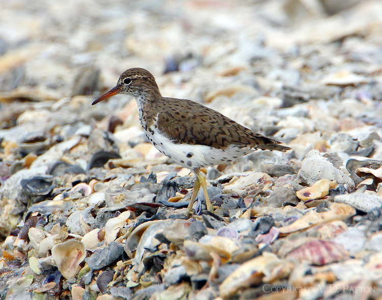 Spotted sandpiper in breeding plumage