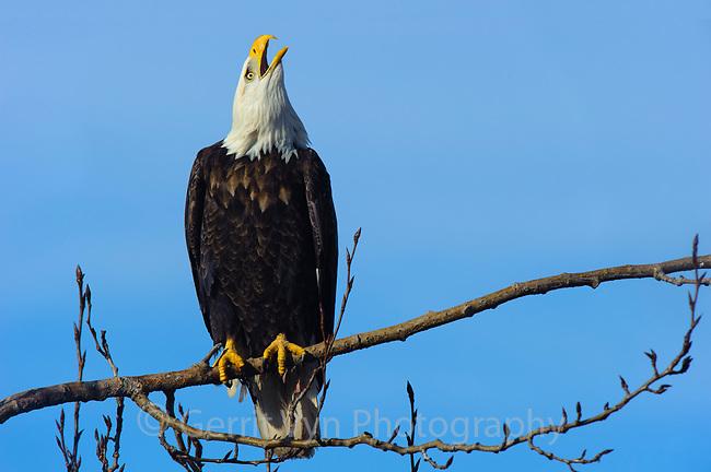 Adult Bald Eagle (Haliaeetus leucocephalus). British Columbia, Canada. January.