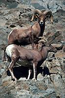Desert bighorn sheep, Living Desert Reserve, Palm Desert, California