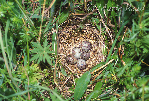 Bobolink (Dolichonyx oryzivorus) nest with five eggs on the ground in a field, Ithaca, New York, USA<br /> Slide # B163-37
