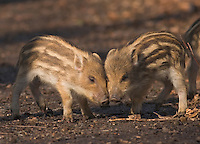 Germany, DEU, Arnsberg, 2005-Feb-07: Two  young wild boars (sus scrofa), about two weeks old, sticking their heads close together in the Wildwald Vosswinkel preserve.