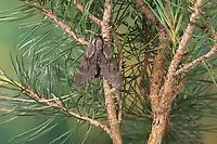 Kiefernschwärmer, Kiefern-Schwärmer, Tannenpfeil, Hyloicus pinastri, Sphinx pinastri, pine hawkmoth, pine hawk-moth, Le Sphinx du pin, Schwärmer, Sphingidae, hawkmoths, sphinx moths