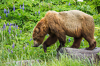 Coastal brown bear walks on driftwood amidst the rich green fields of wildflowers and vegetation along the Alaska Peninsula coast, Katmai National Park, southwest, Alaska.