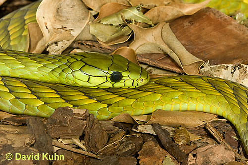 0423-1119  Western Green Mamba (West African Green Mamba), Dendroaspis viridis  © David Kuhn/Dwight Kuhn Photography