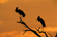 Wood Stork, Mycteria americana,adults at Sunrise, Lake Corpus Christi, Texas, USA