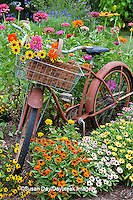 63821-22205 Old bicycle with flower basket in garden with zinnias,  Marion Co., IL