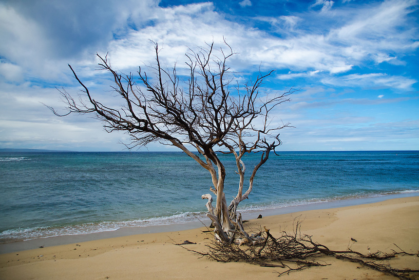 Dead Tree on Beach, Lahaina, Maui, Hawaii, US