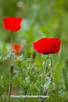 63821-22911 Red Poppy (Papaver rhoeas 'Legion of Honor'), Cantigny Park, Wheaton, IL