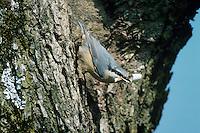 Eurasian Nuthatch, Sitta europaea, adult with Birch Tree bark as Nesting Material, Oberaegeri, Switzerland, Europe
