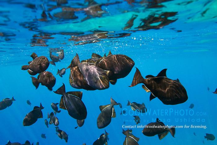 schooling black triggerfish, Melichthys niger, feeding at surface, Kealakekua Bay, Big Island, Hawaii, Pacific Ocean