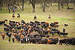 Gathering the cattle for late winter branding and calf marking at the Lavaggi Ranch in the Sierra Nevada Foothills near Plymouth, California..
