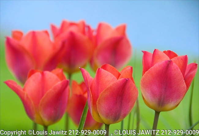 drums tulips   went to barry D300 <br /> sub mish