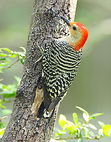 Adult male red-bellied woodpecker
