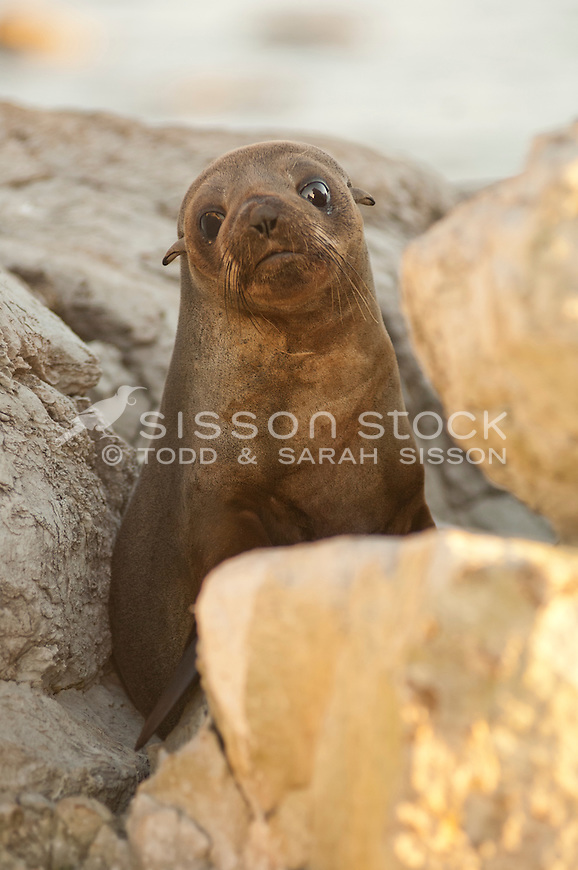 New Zealand Fur Seal, New Zealand - stock photo, canvas, fine art print