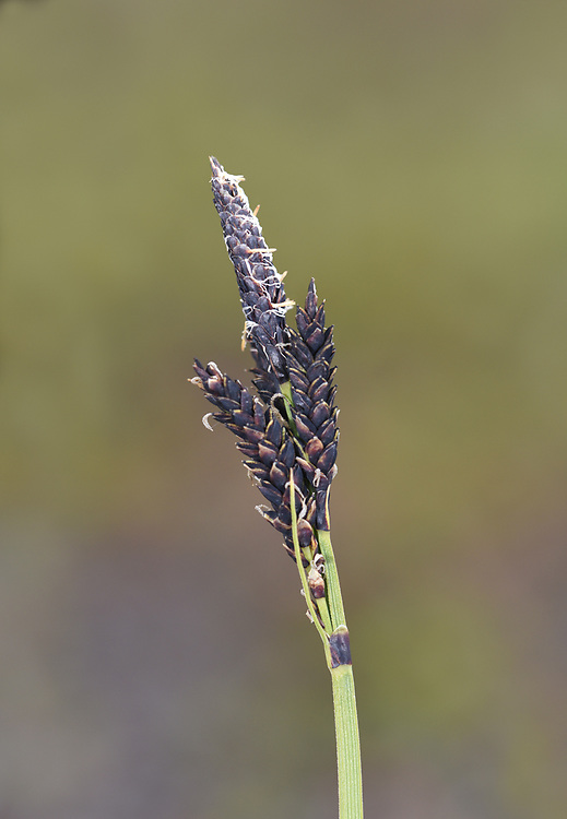 Carex bigelowii - an upland/arctic sedge
