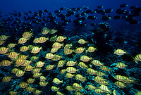 "Schools of black and yellow surgeon fish, Palmyra Atoll. The largest purchase to date for the Nature Conservancy is the Palmyra an atoll situated about 300 miles north of the equator.  Palmyra has five times as many coral species as the Florida Keys and three times as many as Hawaii.  It is home to the world's largest invertebrate, the rare coconut crab, and a population of red-footed booby birds second only to that of the Galapagos.  It is the last marine wilderness area left in the U.S. tropics and is home to the last remaining stands of Pisonia grandis beach forest in the world.  Palmyra was a US Navy supply base in World War II, the site of a proposed nuclear waste dump, an unsuccessful coconut plantation and of various development schemes.  Palmyra is most famous for the 1974 slaying  of a married couple which became the subject of the best-selling book ""And the Sea Will Tell,"" by Vincent Bugliosi."
