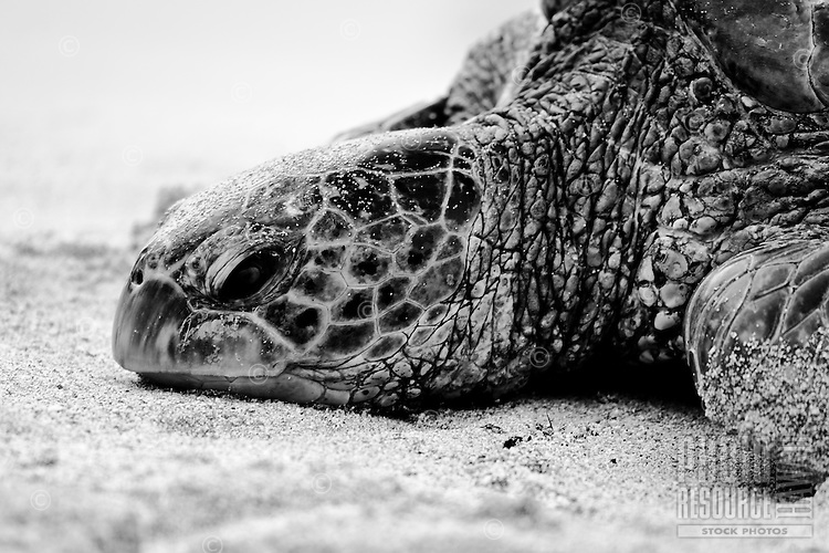 A close-up of a green sea turtle (or honu) resting on the shore of a beach in Hawai'i