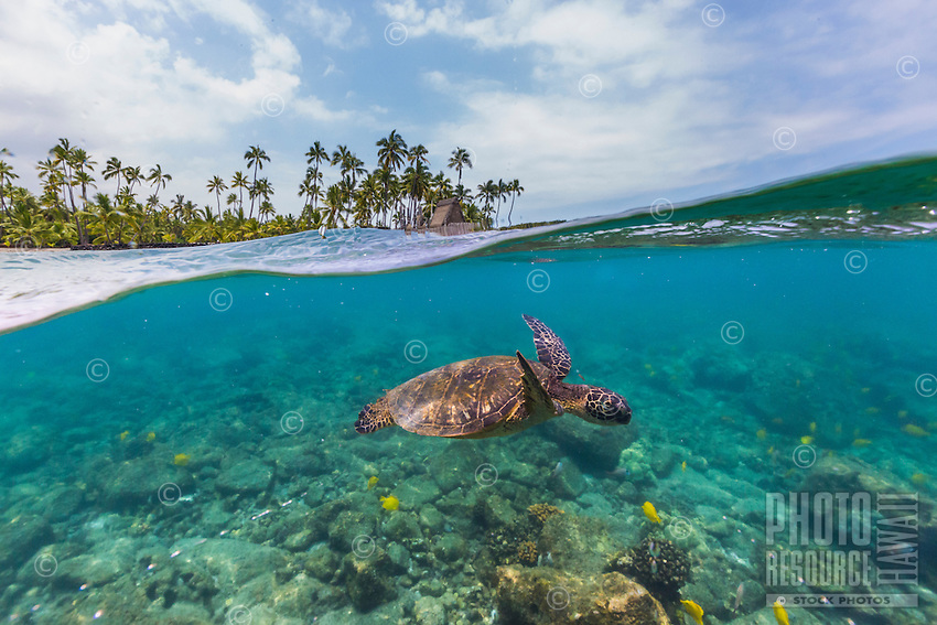 A honu (or green sea turtle) and reef fish swim in the clear waters near the Big Island's Pu'uhonua o Honaunau, a national historical park which once served as a place of refuge for Hawaiian warriors, non-combatants and those who broke kapu (sacred law).