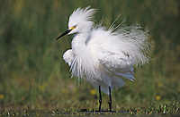 Snowy Egret, Egretta thula, adult preening, Lake Corpus Christi, Texas, USA, May 2003