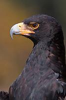 African Black Eagle (Aquila verreauxii)..Closeup. Shot under controlled conditions..April 2009, fall..Falcon Ridge, Drakensberg, Kwazulu-Natal, South Africa.