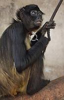"""Querétaro, Qro. 30 de marzo de 2014.-  Celebra 50 años """"Whisky"""", el mono araña de la casa de la calle avenida 57. Durante años éste primate ha sido el atractivo de los vecinos del tradicional barrio de Santa Ana. Conocido como el """"changuito de la casa de avenida 57"""", actualmente se encuentra tomando antibióticos debido a su edad, por lo que los dueños piden no darle ningún tipo de alimento no recomendado.<br /> <br /> Los vecinos acudieron puntualmente al medio día de éste a cantarle las tradicionales mañanitas. A los niños que acudieron a la celebración se les compartieron globos y paletas de dulce. Con mucha alegría """"Whisky"""" recibió un muffin de chocolate. No siempre se celebran 50 años de primate siendo el deleite para generaciones de curiosos. <br /> <br /> <br /> Foto: Demian Chávez / Obture Press Agency."""