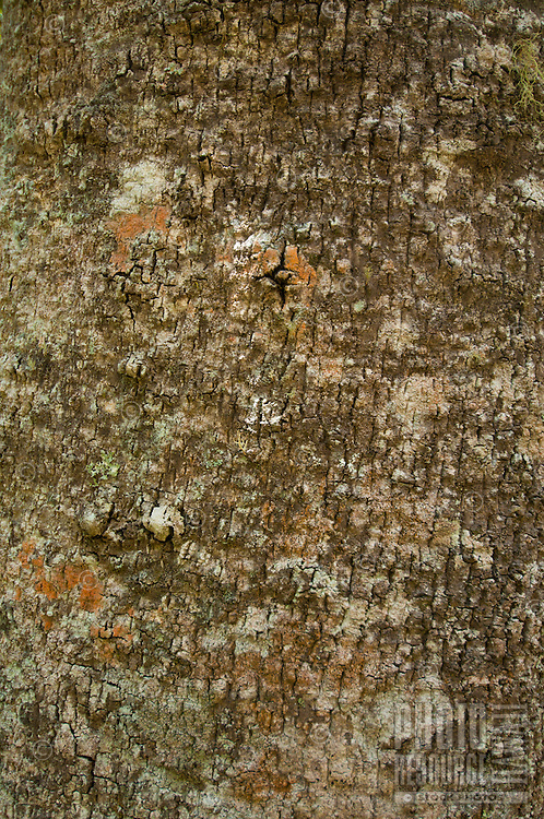 A close-up of the bark of a kauila tree, Hawai'i.