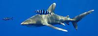Oceanic white tip shark, Carcharhinus longimanus, with pilot fish. Open ocean, Kona Coast, Big Island, Hawaii, USA, Pacific Ocean, Pacific