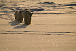 A polar bear mother leads her two cubs in a line across the snow in Churchill, Manitoba, Canada.