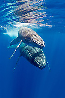 A Humpback Whale calf, Megaptera novaeangliae, surfaces to breathe, closely followed by its mother. Moorea, French Polynesia, Pacific Ocean