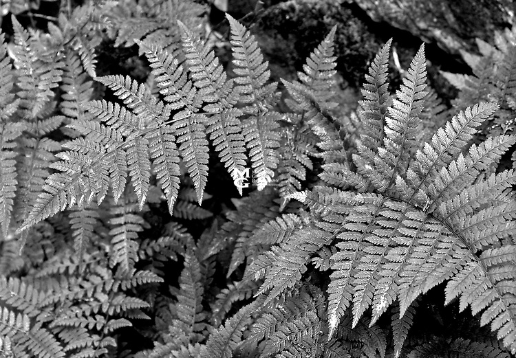 Ferns - Pteridophyta