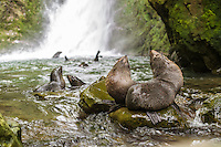 Baby fur seals, Ohau stream, Kaikoura Coast, New Zealand - stock photo, canvas, fine art print