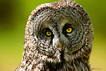 OWL; great gray owl