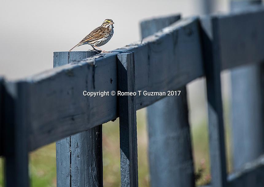 February 4, 2017: Savanah Sparrow (Passerculus sandwichensis) Joe Overstreet Landing, Kenansville, FL