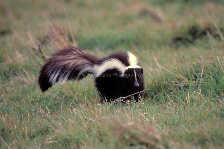 Striped Skunk, California foothills