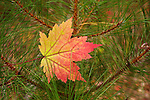 A maple leaf turned color in the autumn.