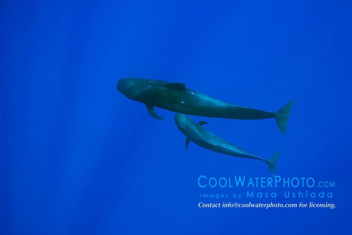 Short-finned Pilot Whales, mother and calf, Globicephala macrorhynchus, off Kona Coast, Big Island, Hawaii, Pacific Ocean.