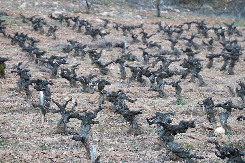vineyard old vine gobelet trained sandy gravelly soil Bodega Agribergidum, DO Bierzo, Pieros-Cacabelos spain castile and leon