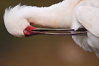 African Spoonbill (Platalea alba), Zimanga Private Nature Reserve, KwaZulu Natal, South Africa