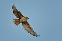 Ferruginous Hawk, New Mexico roadside