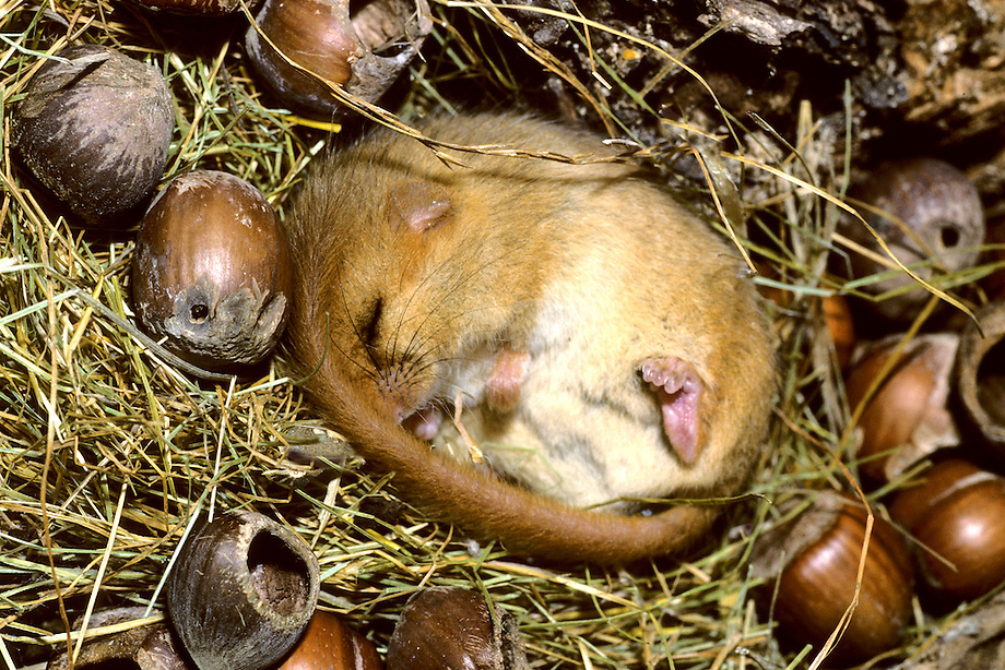 Hazelmuis (Muscardinus avellanarius) winterslaap