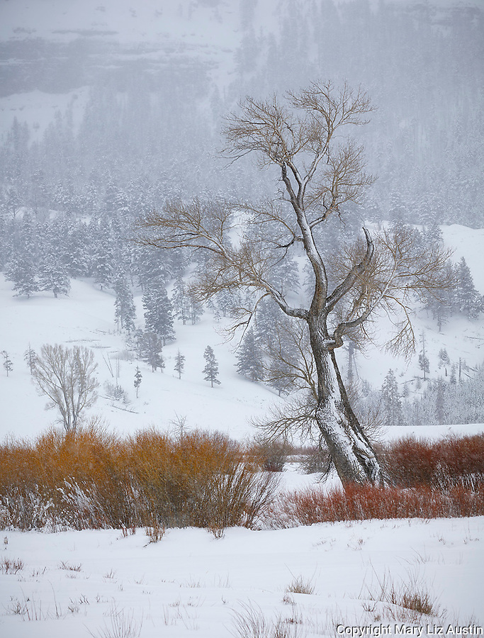 Yellowstone National Park, Wyoming: Cottonwood tree and willows in snowstom in Lamar Valley