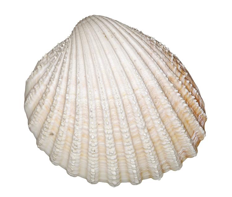 Spiny Cockle - Acanthocardia aculeata