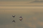 egrets and Salton Sea at sunset