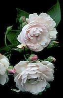 Rosa 'Blush Noisette', Noisette Roses pink